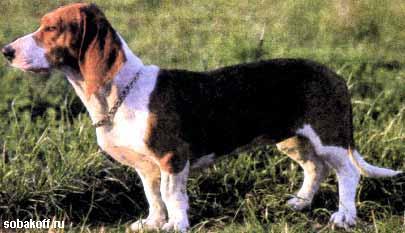 Артезиано-нормандский бассет