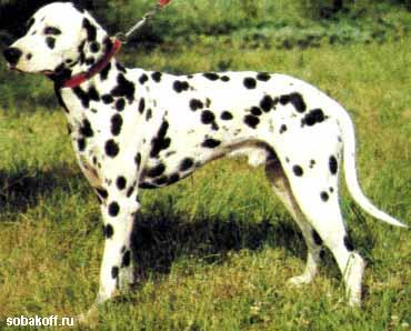 Далматская собака