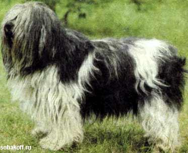 Польская низинная овчарка